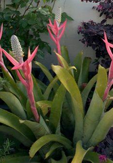Aechmea-maculata-LR