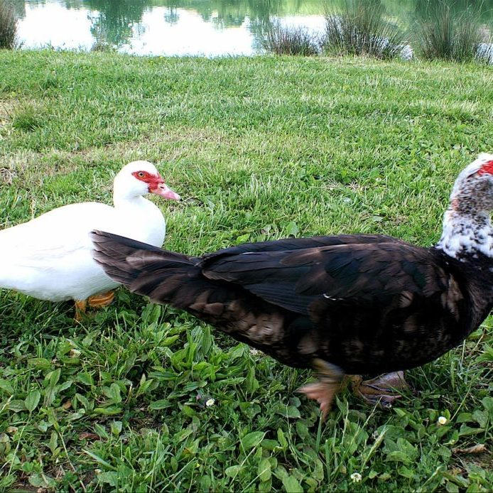 Household_of_Muscovy_Duck